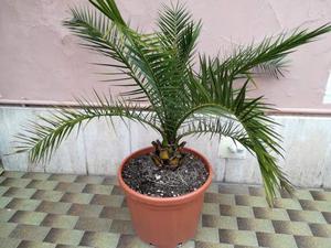 PALMA FENIX origine canarie di 5 anni con vaso