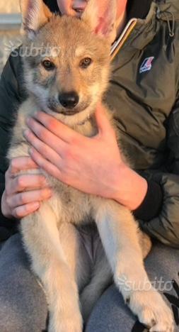 Cane lupo cecoslovacco last puppy