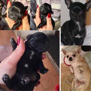 Chihuahua toy - cucciola nera