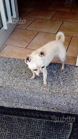 Chihuahua toy femmina adulta