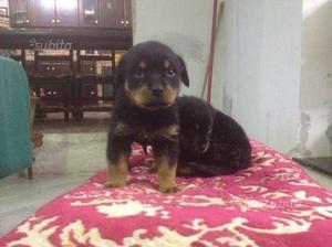 Cuccioli Rottweiler di 2 mesi