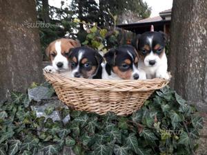 Cuccioli di Jack Russell Terrier, pedigree ROI