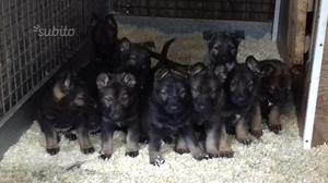 Cuccioli pastore tedesco grigione