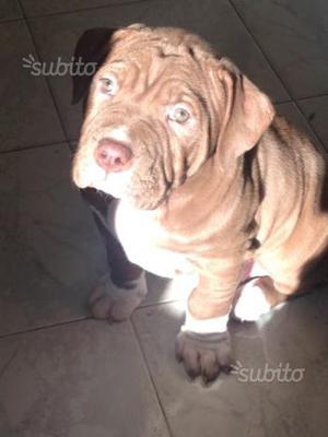 Cucciolo di Pitbull Red Nose