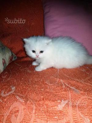 Gattina persiana disponibile