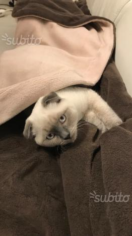 Gatto scottisch fold maschio per accoppiamento