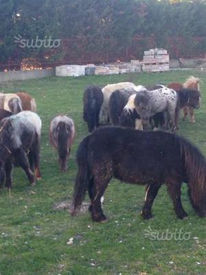 Miniature horse falabela