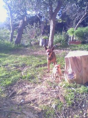Pincher chihuahua