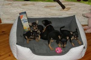 Pinscher toy cuccioli