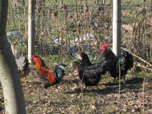Polli e Anatre: Marans, Australorp e Corritrici