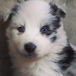 Border collie cucciola blue merle con pedegree