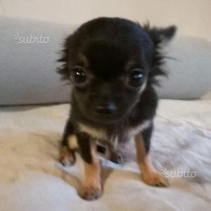Chihuahua gioiellino a pelo lungo
