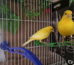 Coppia di canarini  gialli intensi