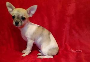 Cucciola di Chihuahua con pedigree ENCI