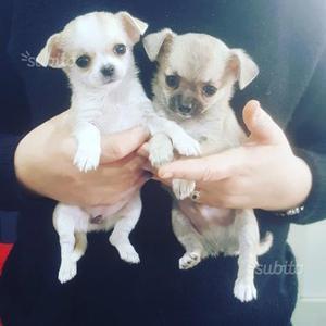 Cuccioli Chihuahua con Pedigree