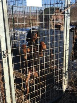 Cuccioli Setter Gordon 4 mesi caccia & compagnia
