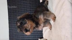 Cuccioli di bassotto tedesco a pelo duro
