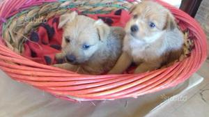 Cuccioli meticci regalasi