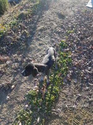 Cucciolo Bracco pointer maschio