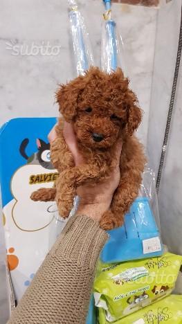Cucciolo barboncino toy albicocca di razza