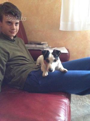 Cucciolo di jack russell Maschio