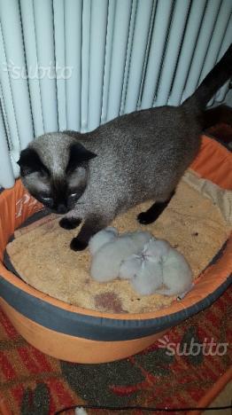 Gatti siamesi puri nati il 18 gennaio