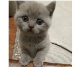 Gattini Scottish Fold e Straight