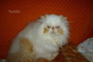 Gattini colorpoint