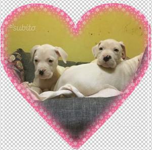 Stupende Cucciole Dogo Argentino subito pronte
