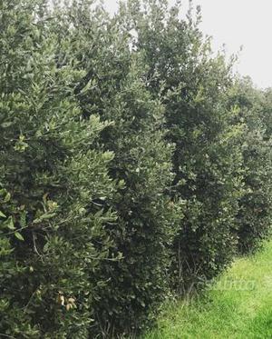 Quercia sempreverde leccio quercus ilex posot class for Quercia sempreverde