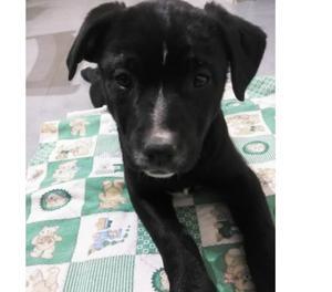 Gaia, 2 mesi, cagnolina tg media in adozione, cucciola