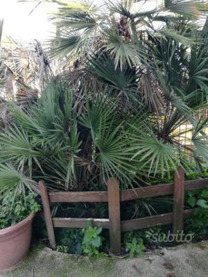 Palma nana chamaerops humilis vs 24 posot class - Palme nane da giardino ...