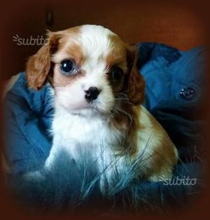Cavalier King Charles S. cuccioli maschi pedigree
