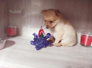 Cucciola di 3 mesi chihuahua mini mini