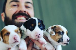 Cuccioli maschi di Jack Russell a Trento