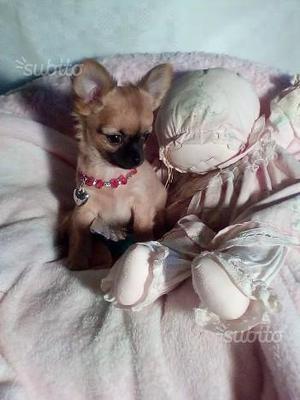 Cucciolo Chihuahua PEDIGREE ENCI
