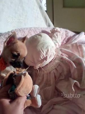 Cucciolo Chihuahua con PEDIGREE ENCI