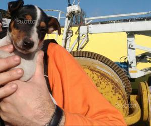 Cucciolo di Jack Russell terrier di 2 mesi