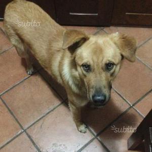 Milo cucciolo mix labrador/ golden 9 mesi