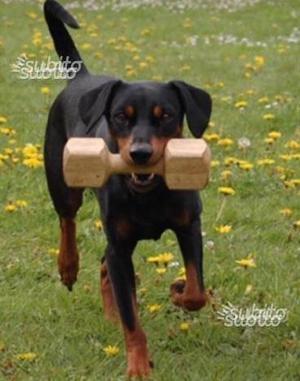Regalo cane Pinscher Tedesco