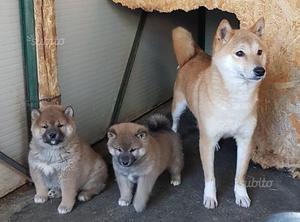 Shiba inu con pedigree