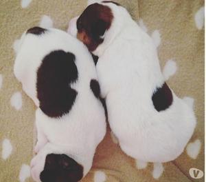 due cuccioli maschi di PARSON RUSSELL TERRIER