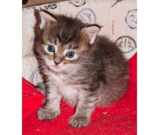 Privato vende cucciola di gatto Maine Coon a Torino