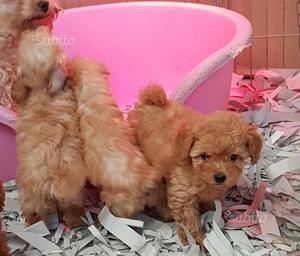 Barboncino FULVI cuccioli di 2 mesi