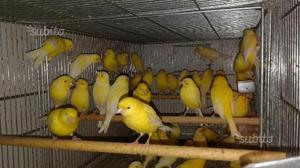 Canarini gialli
