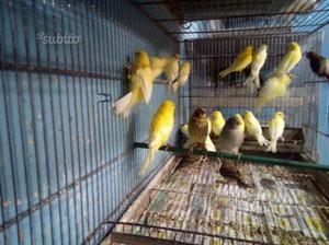Canarini pronta cova maschi e femmine