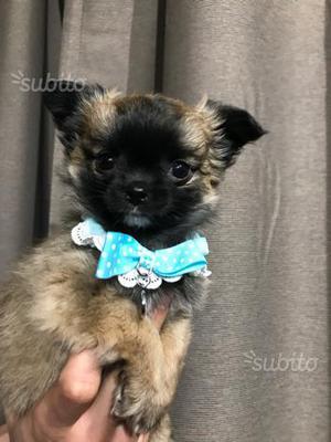 Chihuahua Maschio PEDIGREE ENCI