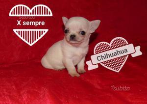 Chihuahua con pedigree