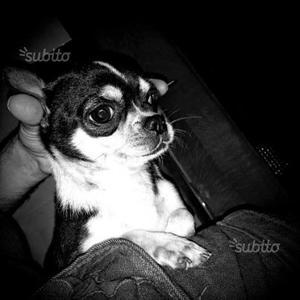 Chihuahua maschio per Accoppiamento