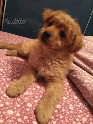 Cucciola di Barboncino toy